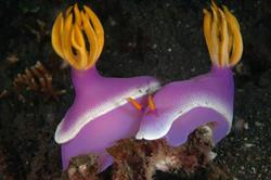 Lembeh - North Sulawesi, Indonesia. Pair pink nudibranch.