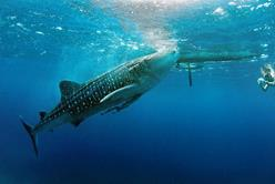 Philippines Scuba Diving Holiday. Dumaguete. Whale Shark.
