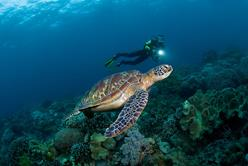 Philippines Scuba Diving Holiday. Diving with Turtle.