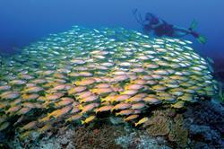 Zanzibar Scuba Diving Holiday. Shoals blue striped snapper.