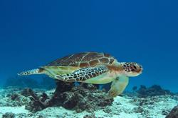 Zanzibar Scuba Diving Holiday. Turtle.