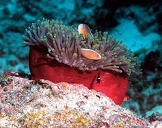 Zanzibar Scuba Diving Holiday. Anemone and clownfish.