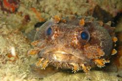 Tobago - Caribbean. Toadfish.