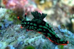 Tobago - Caribbean. Nudibranch.