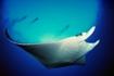 Tobago Stingray & Divers