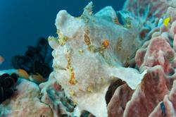 Scuba Diving Holiday, Bali - Indonesia. Frogfish.