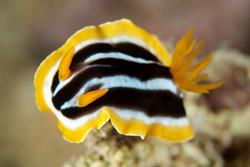 El Gouna - Red Sea. Nudibranch.