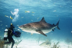 Red Sea Shark Diving in Sudan