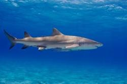 Bahamas Aggressor Luxury Scuba Diving Liveaboard - Caribbean. Shark diving.