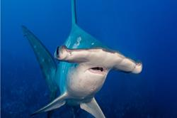 Cocos Island - luxury liveaboard scuba diving with hammerhead sharks.