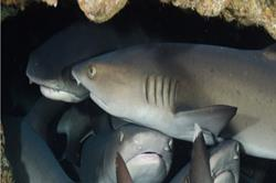 Cocos Island - luxury liveaboard scuba diving with baby shark.