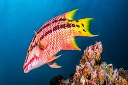 Cocos Island - luxury liveaboard scuba diving - colourful reef fish.