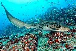 Oman Scuba Diving Holiday. Luxury Oman Aggressor Liveaboard. Shark.