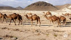Oman Scuba Diving Holiday. Luxury Oman Aggressor Liveaboard. Camels.