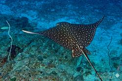 Oman Scuba Diving Holiday. Luxury Oman Aggressor Liveaboard. Eagle Ray.