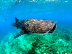 Dive with Whale Sharks in Cenderawasih, Indonesia