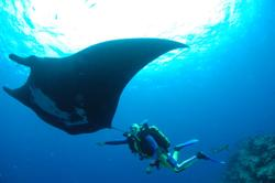 Mantas & Hammerheads in Tobago